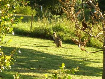Wallaby Kangaroo and Baby Joey